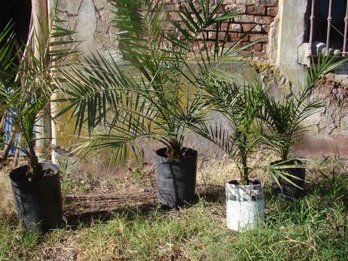 palmera phoenix canariensis.