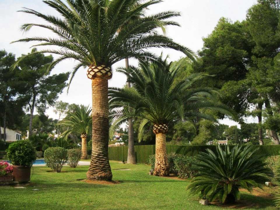 Palmera phoenix canariensis vivero arbol hermano 720 for Jardines con palmeras