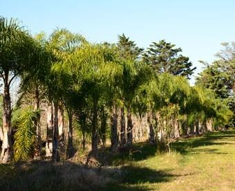 Palmera pind vivero rboles c sped arbustos for Viveros en maldonado