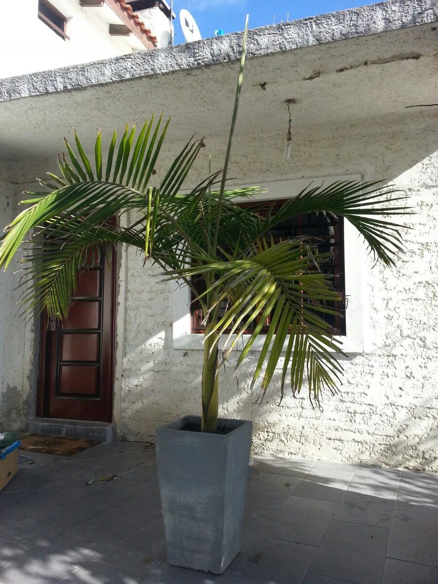 palmera real archontophoenix cunninghamiana 35000 en