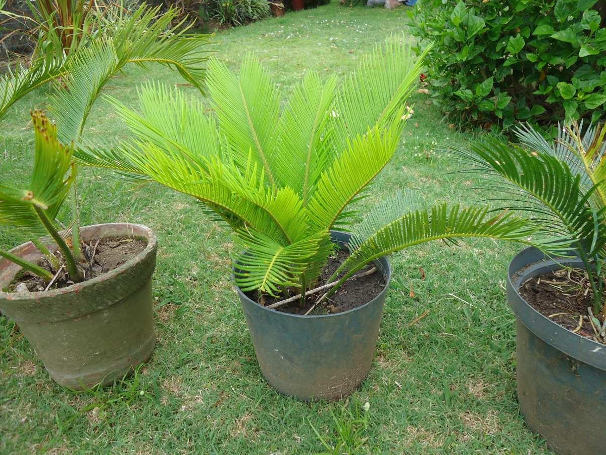 Palmeras cyca revoluta o japonesas para decorar jardines for Palmeras de exterior