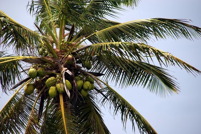 Palmeras de coco en mercado libre for Mesa plegable las palmas