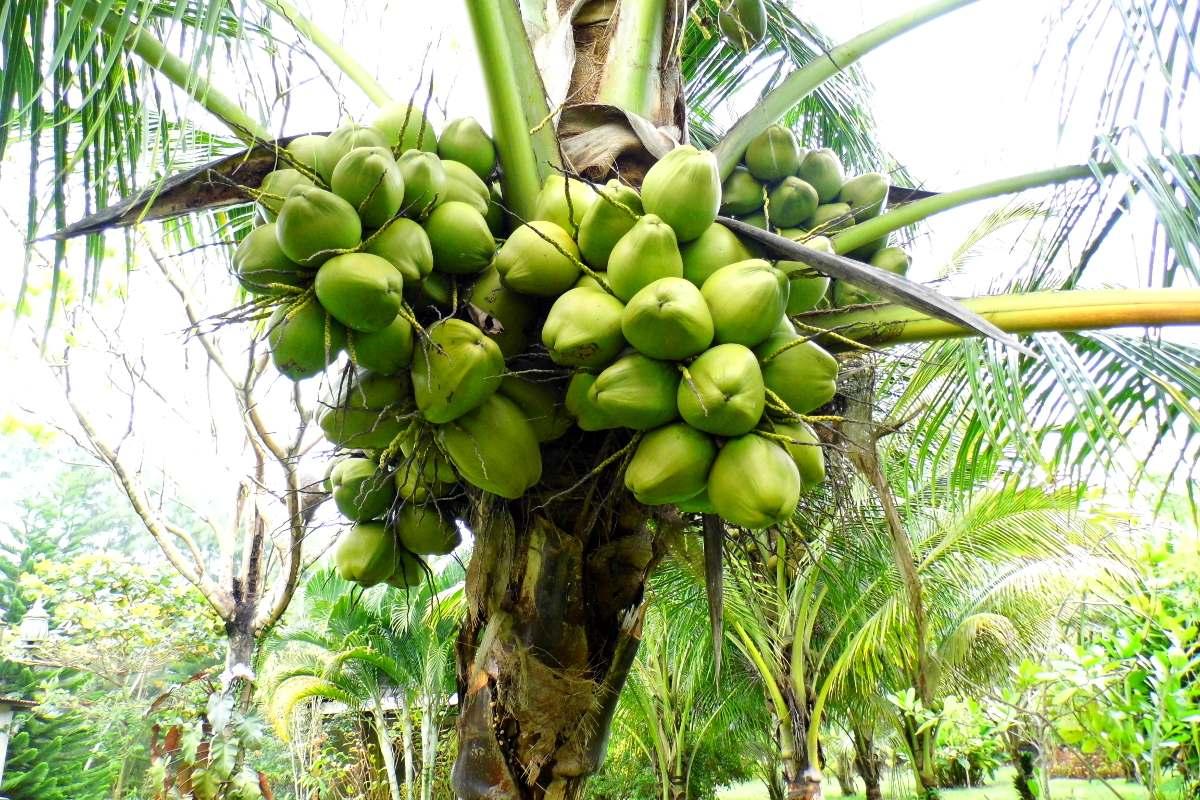 Palmeras de coco enanas y criollas resistentes a for Palmeras de exterior