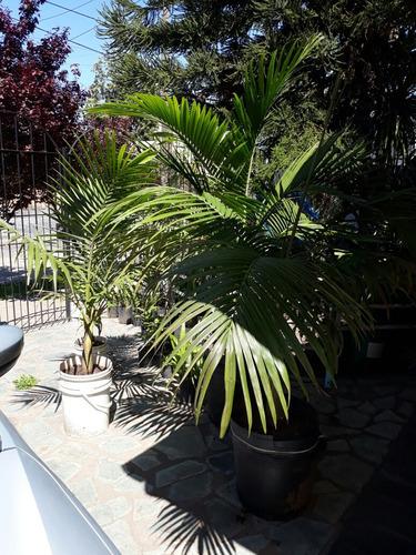 palmeras imperial desde 1000 $