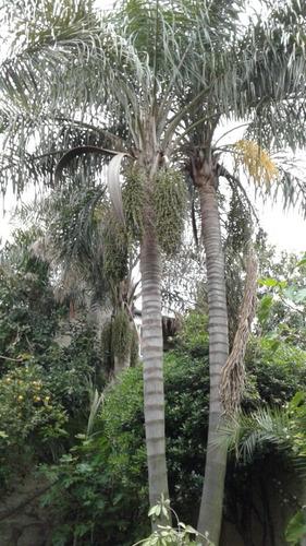 palmeras pindo