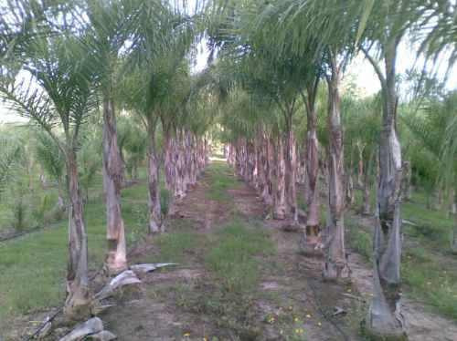 palmeras pindó. queen palm