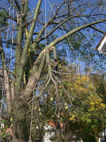 palmeras podas altura,arboles alto riesgo tec.arboricultor