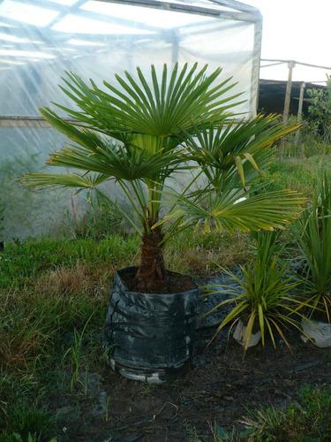 palmeras trachicarpus, phoenix, washingtonia