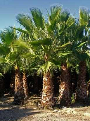 Palmeras washingtonia plantas arboles arbustos c sped for Palmeras de exterior