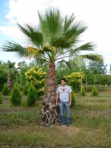 Palmeras washingtonia plantas arboles arbustos c sped - Palmeras plantas exterior ...