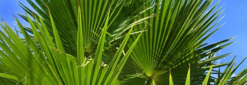 palmeras washintonias en bol. 5 lts de 1 mt de alt. aprox.