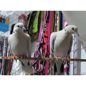 Palomas - Palomas Maracaiberas