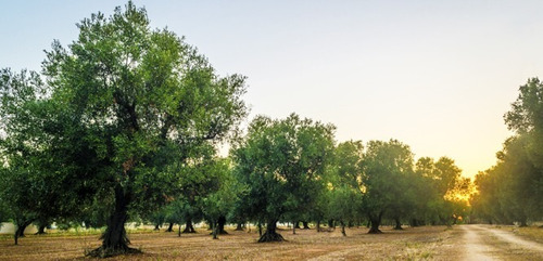 pannocchia aceite de oliva virgen extra x 1 lt.