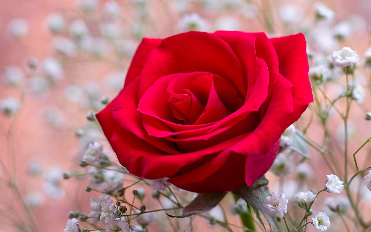 Papel Parede Painel Adesivo Painel Flores Rosas Vermelhas