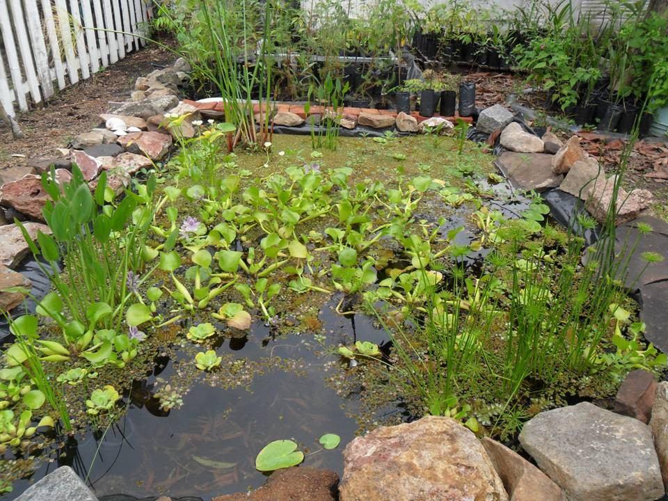 Papiro parag ita y plantas acu ticas flotantes para for Plantas estanque