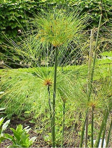 papiros do egito muda ideal aquaponia (papirus cyperus)