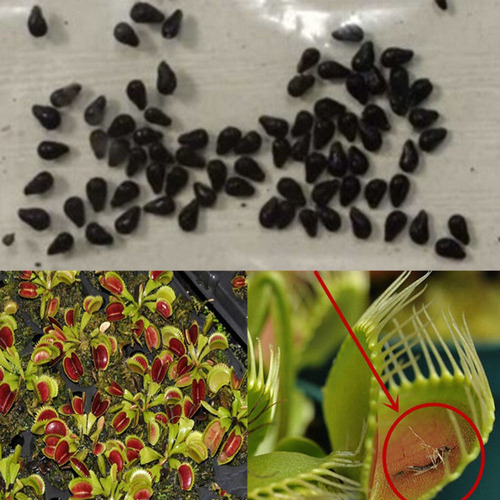 paquete 100pcs semillas de planta atrapa moscas para maceta