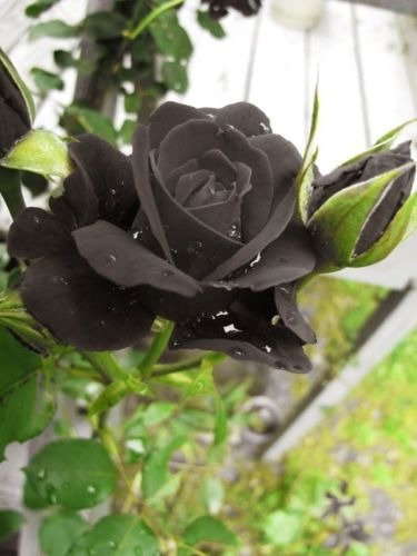 paquete 100pcs semillas de rosa negra, semillas de flores he