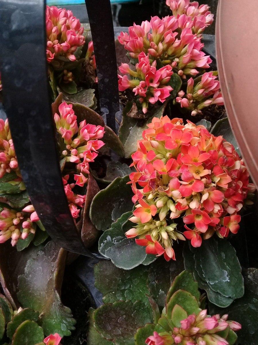 Paquete 6 Plantas Suculenta Rojas Jardin Flores Interior Uno