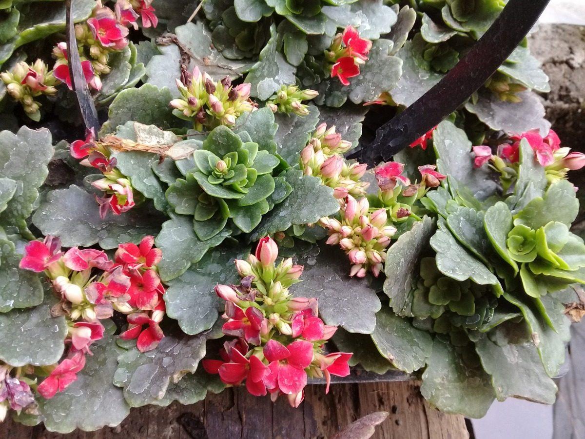 Paquete 6 Plantas Suculenta Rojas Jardin Flores Interior Uno - Flores-interior