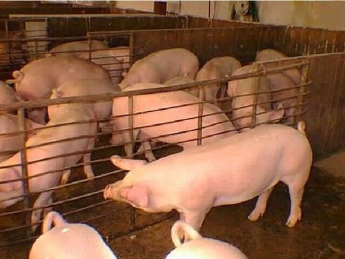 paquete completo porcino. aprende de cerdos, instalaciones