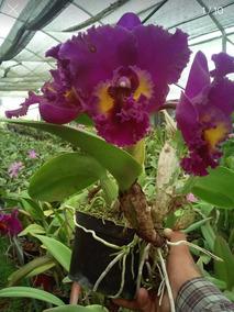 Paquete De 5 Orquideas Cattleya Mas Envio