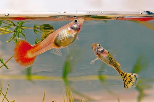 para peces alimento