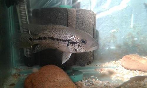 parachromis motaguensis  red tiger  unicos en uruguay