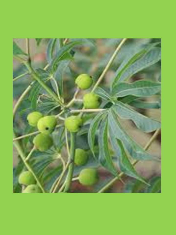 Para so de jard n arbusto floral nativo hoja y fruto for Aspiradora de hojas para jardin