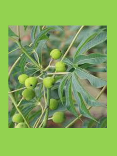 paraíso de jardín-arbusto floral nativo,hoja y fruto vistoso