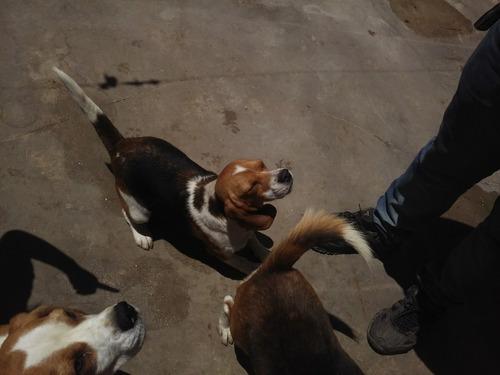 pareja de beagles 2 años hembra sangre de campeones fca
