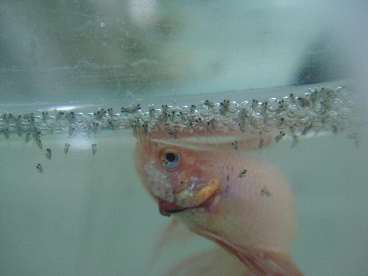 Pareja de bettas en proceso de reproduccion paquete for La reproduccion de los peces