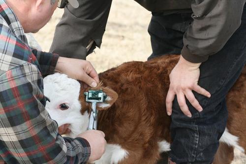 pasta para tatuar vaca cerdo conejo toro borrego veterinaria