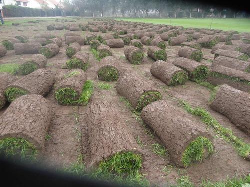 pasto alfombra semilla certificada solo de primera premiun