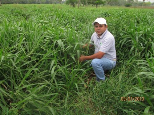 pasto cayman hibrido de semillas papalotla envase 2 kg
