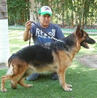 pastor aleman cachorros