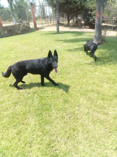 pastor aleman cachorros a meses sin intereses¡¡