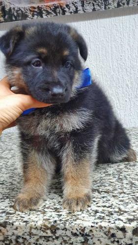 pastor aleman cachorros de padres importados
