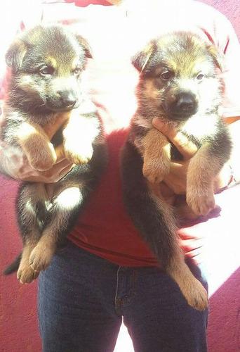 pastor aleman cachorros meses sin intereses!!