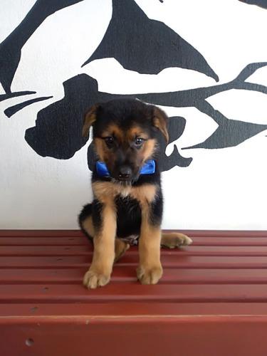 pastor aleman cachorros super calidad vip