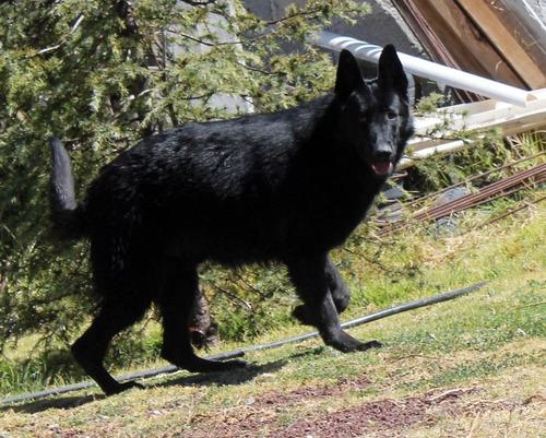 pastor alemán negro sólido