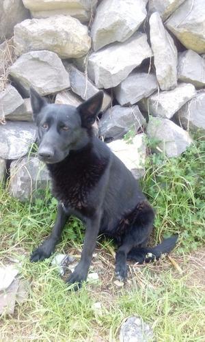 pastor alemán negro solido