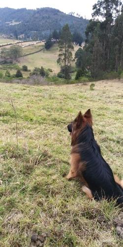pastor alemán pedigree busca novia