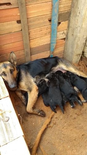 pastor alemão. cachorro,