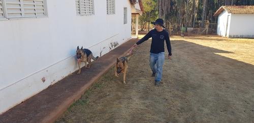 pastor alemão com pedigree para cruzamento