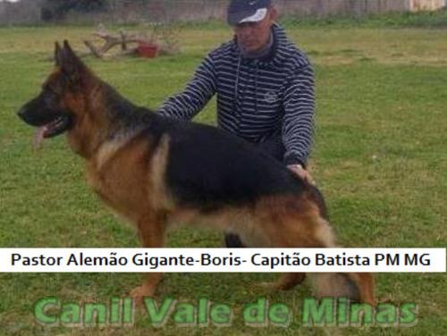pastor alemão gigante capitão pm-mg filhotes desmamados