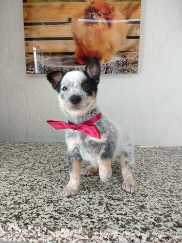 pastor australiano cachorros ganadero vip