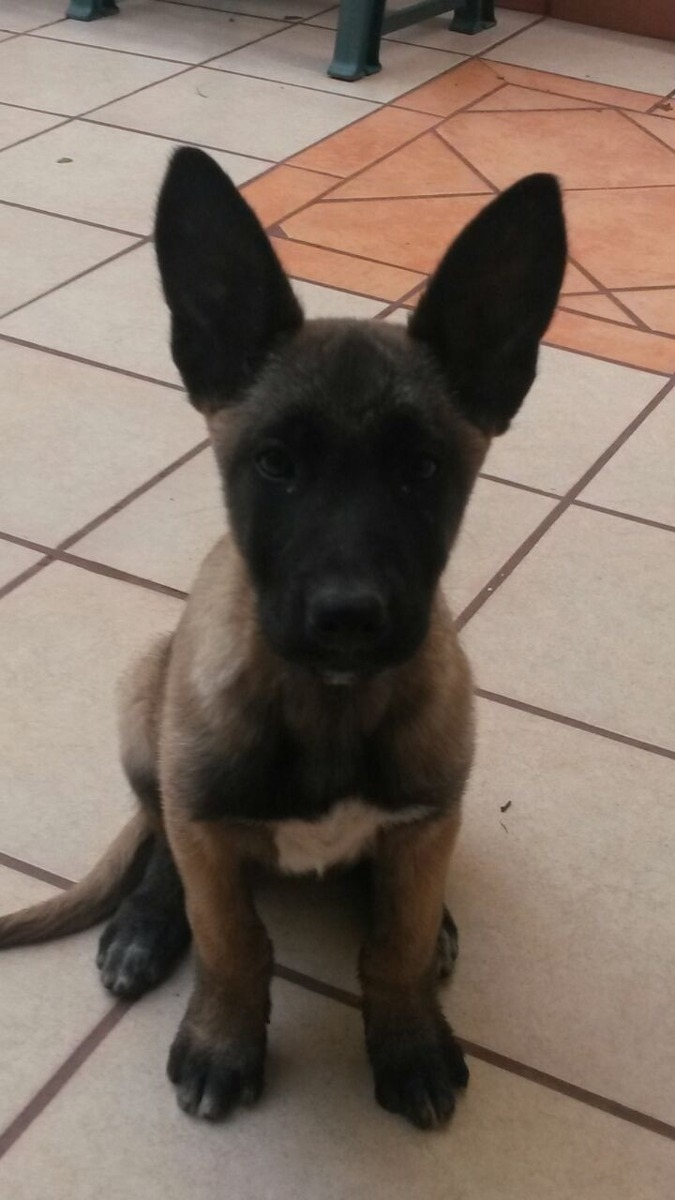 Fotos cachorro pastor belga malinois 2