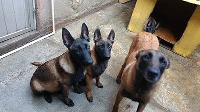 pastor belga malinois cachorros