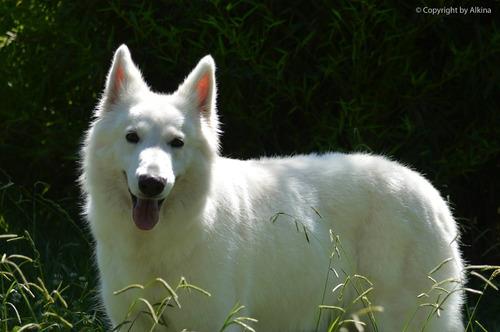 pastor blanco suizo cachorros